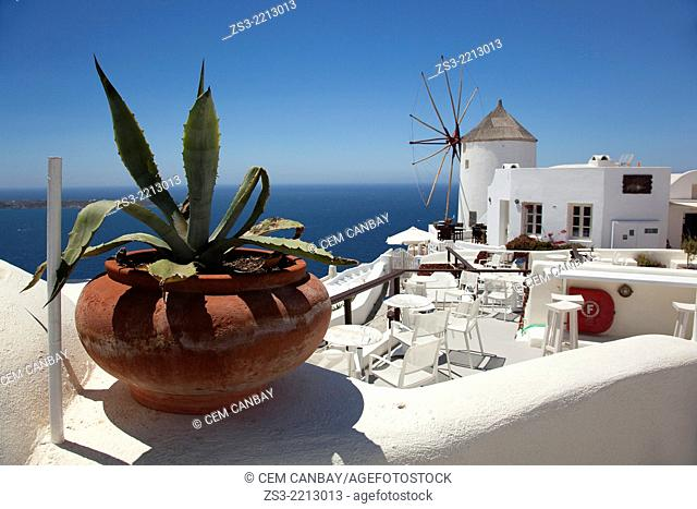 Windmill in Oia town looking at Caldera with a flower top in the foreground, Santorini, Cyclades Islands, Greek Islands, Greece, Europe