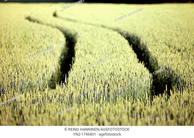 Common wheat, triticum aestivum, growing. Location Suonenjoki Finland Scandinavia