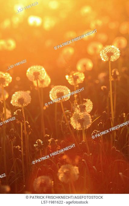 field of dandelion, Switzerland