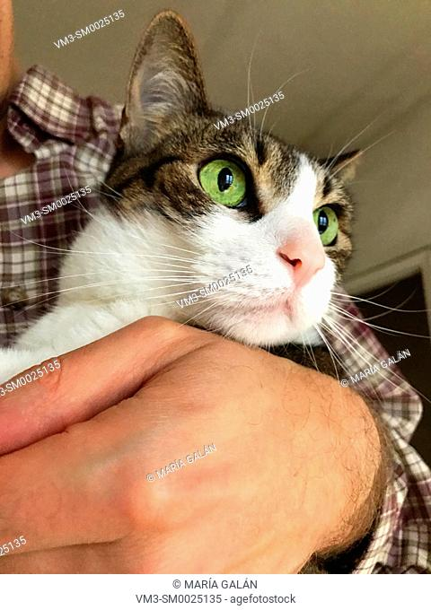 Tabby and white cat in his owner's arms. Close view