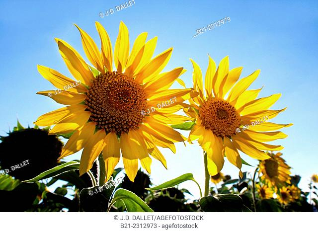 Sunflowers field near Angoulême, Charente, Poitou-Charentes, France