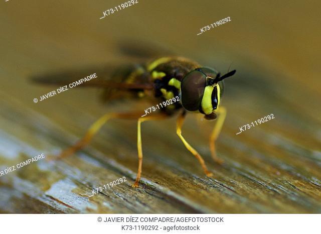 Hoverfly (Chrysotoxum intermedium)