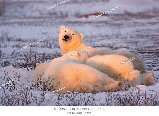 Polar Bears (Ursus maritimus) in twilight, Churchill, Manitoba, Canada