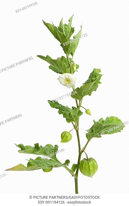 Twig of Physalis with flower,bud and lantern on white background
