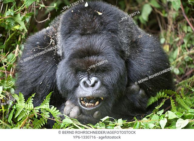 Mountain Gorilla, Gorilla beringei beringei, portrait of a silverback showing teeth, Volcanoes National Park, Rwanda