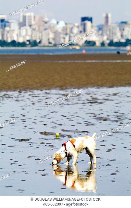 Dog, Spaniel, at the beach, Spanish Banks, Vancouver, BC, Canada