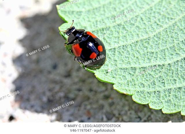 Two-spot Ladybird Beetle, Adalia bipunctata v sexpustulata, Black variant of Two-spotted ladybird esily confused with the black variant of harmonia axyridis  No...