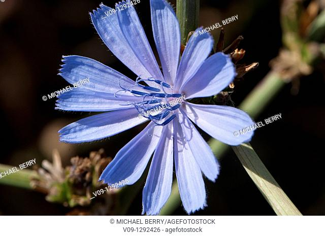 Chicory (Cichorium intybus), Oregon, USA