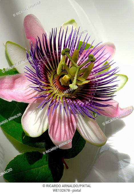 Pink Passion Flower Vine