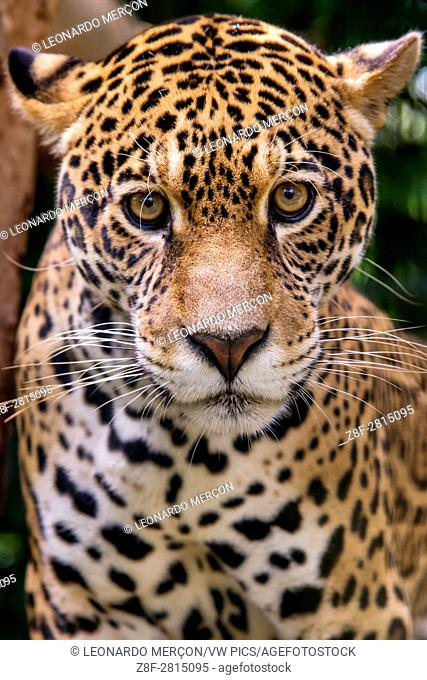 Jaguar (Panthera onca), in captivity, at a wild cats rehab center, photographed in Goiais, Brazil. Cerrado Biome