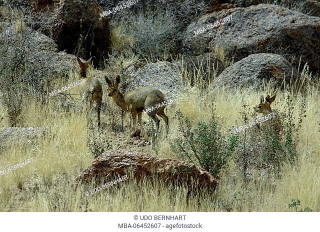 Africa, Namibia, NamibRand Nature Reserve, animals, 'Damara-Dikdik' antelope