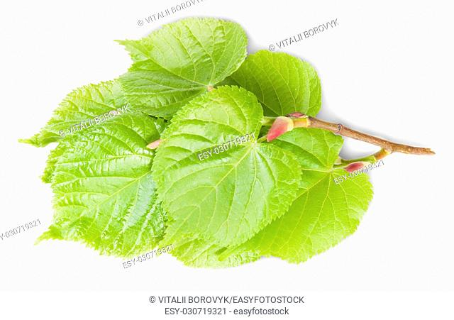 Linden Leaves On Branch Isolated On White Background