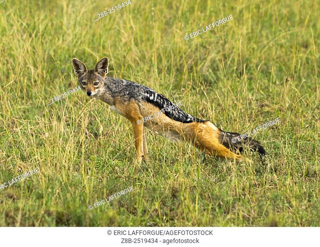 Tanzania, Mara, Serengeti National Park, black-backed jackal (canis mesomelas)
