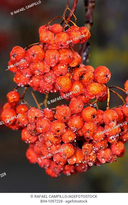 Fruits of Red elder (Sambucus racemosa). Osseja, Languedoc-Roussillon, Pyrenees Orientales, France