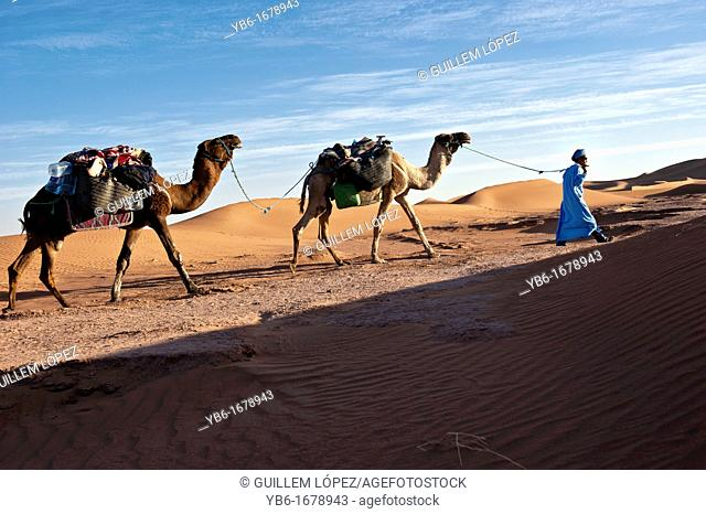 Nomad Berber with two dromedaries in the sand dunes of Erg Chigaga, Sahara Desert, Morocco