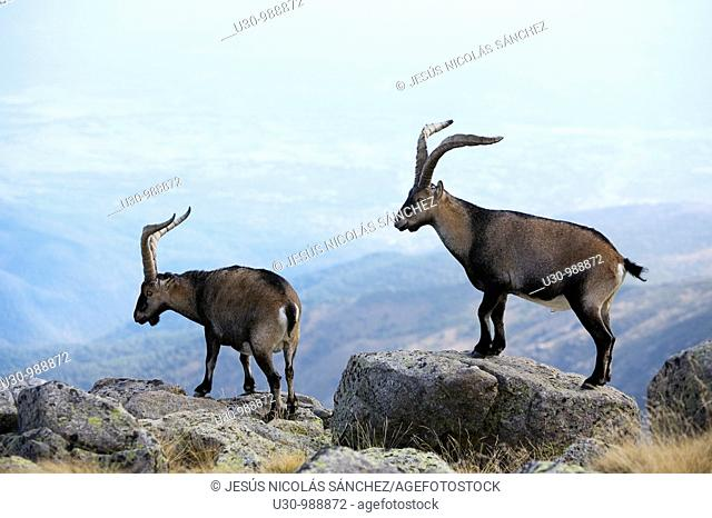 Males Spanish Ibex in Morezón peak 2 393 m next to the Circo de Gredos  Mountains of the Sierra de Gredos National Park  Navacepeda de Tormes  Ávila  Castilla y...