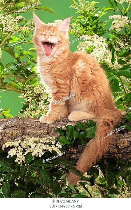 Maine Coon kitten sitting on branch - yawning