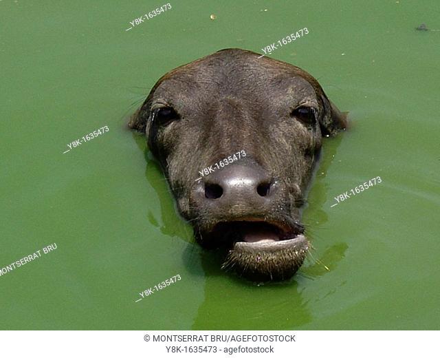 Water buffalo closeup bathing in green water in Anjuna, Goa, India