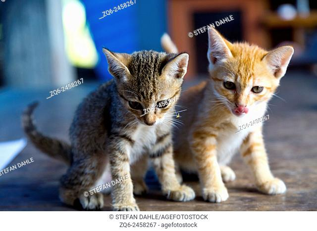 Little Cats in the Isaan Province, Thailand