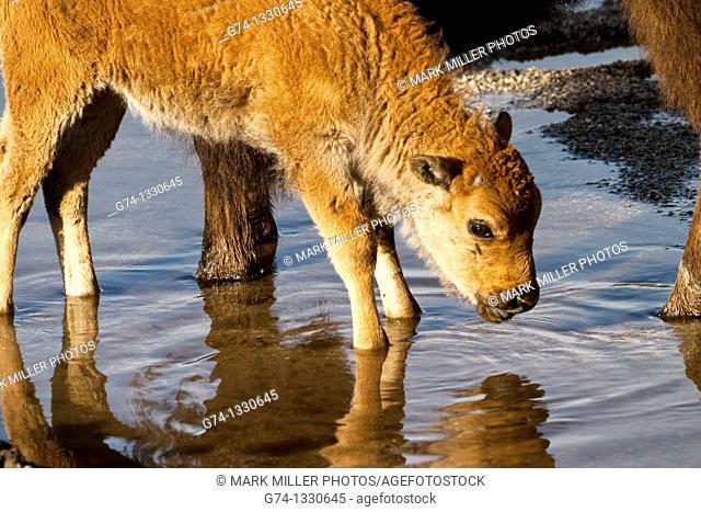 Newborn Bison Calf Standing in Spring Melt