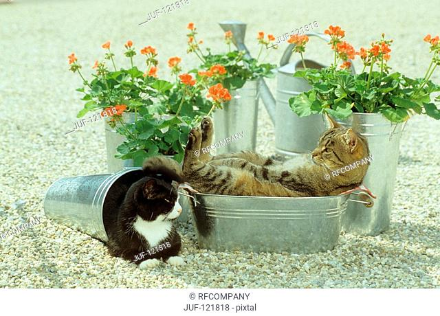 two domestic cats in buckets