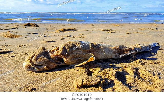 lesser spotted dogfish, smallspotted dogfish, rough hound, smallspotted catshark (Scyliorhinus canicula, Scyllium canicula), dead on the beach of North Sea