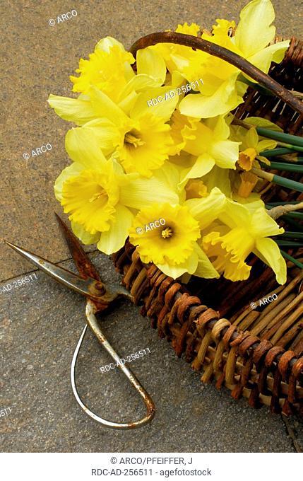 Daffodils in basket Narcissus spec. scissors