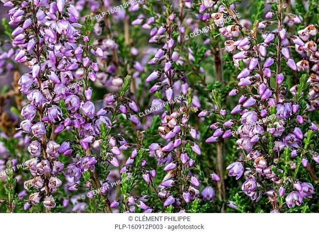 Close up of common heather / Scotch heather / ling (Calluna vulgaris) flowering in heathland in summer