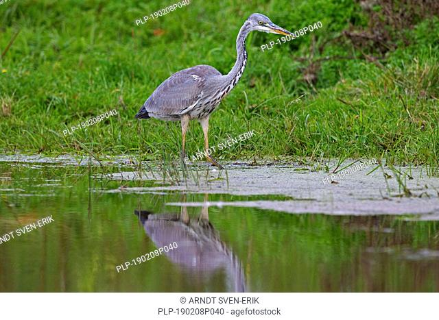 Grey heron (Ardea cinerea) foraging in shallow water of lake