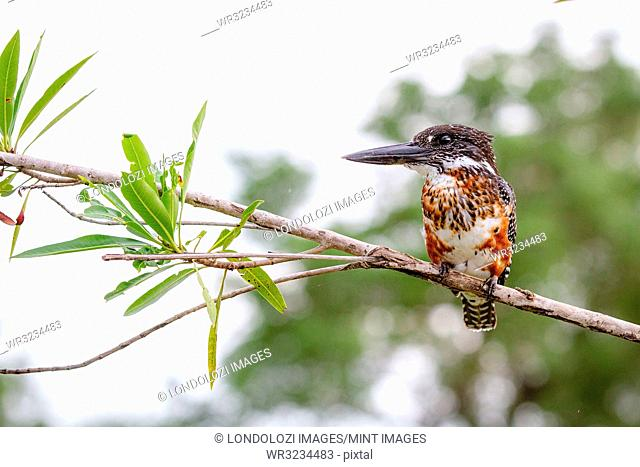 A giant kingfisher, Megaceryle maxima, stands on a branch, looking away