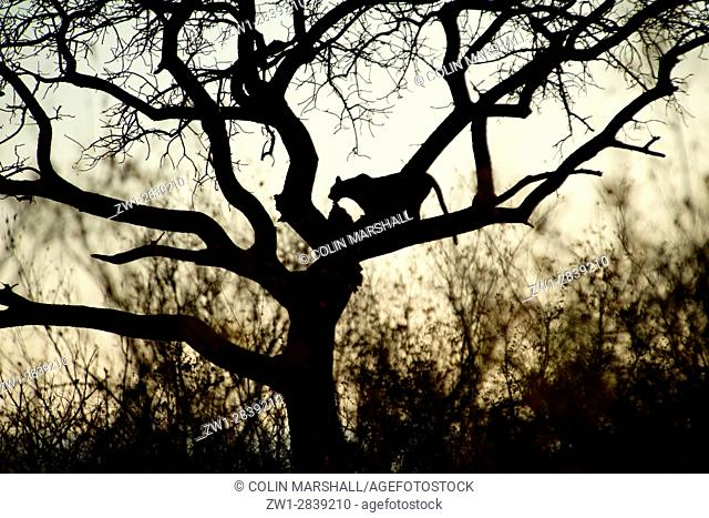 Leopard (Panthera pardus) silhouetted up tree with kill, Kruger National Park, Transvaal, South Africa