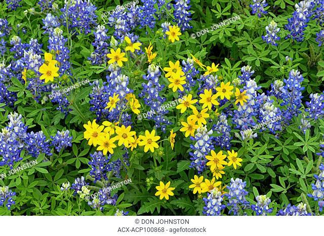 Flowering Texas bluebonnet (Lupinus subcarnosus) and Engelmann daisy (Engelmannia peristenia), Burnet County, Texas, USA