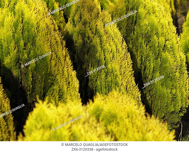 Fir trees plantation, detail (Abies alba). Arbucies village countryside. Montseny Natural Park. Barcelona province, Catalonia, Spain