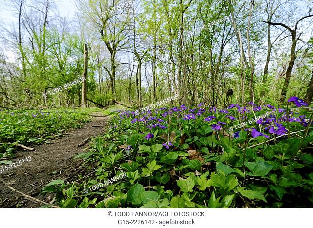 Common blue violets along woodland path near Des Plaines River, Illinois