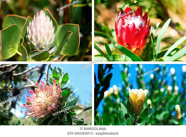 Set of four photos of beautiful King Protea in South African Botanical Garden