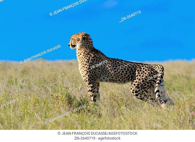 Cheetah (Acinonyx jubatus), standing in the tall grass watching the surroundings, Addo Elephant National Park, Eastern Cape, South Africa, Africa