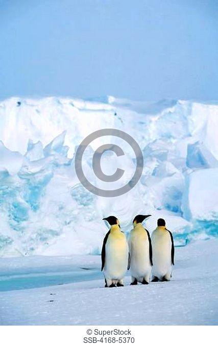 antarctica, riiser-larsen ice shelf, emperor penguins on fast ice, iceberg background