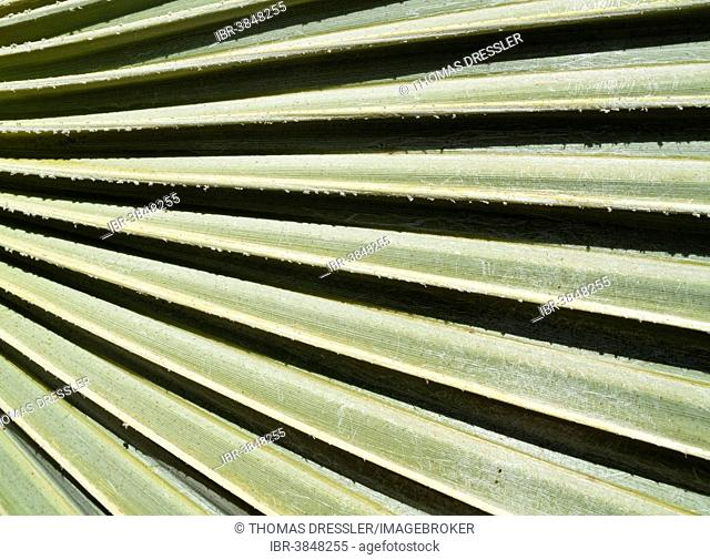 Lala Palm (Hyphaene coriacea), detail of a leaf, Kruger National Park, South Africa