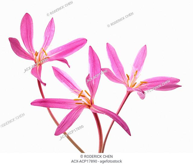 Three pink colchicum flowers on white background