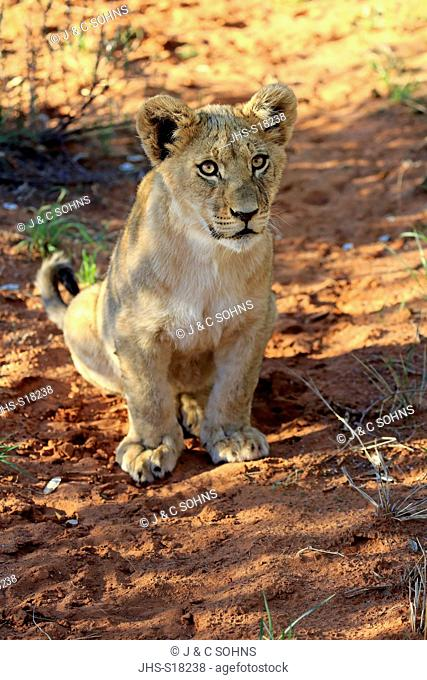 Lion, (Panthera leo), young four month old alert, Tswalu Game Reserve, Kalahari, Northern Cape, South Africa, Africa