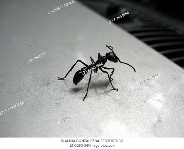 The bullet ant or ant 24, (Paraponera clavata), is named for the intense pain generated by its bite, compared to that of a bullet