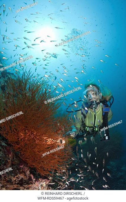Diver and Black Coral, Antipathes dichotoma, Maya Thila, North Ari Atoll, Maldives