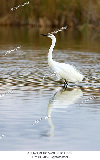 Little egret with mirror image in the Maremma Natural Park of Doñana