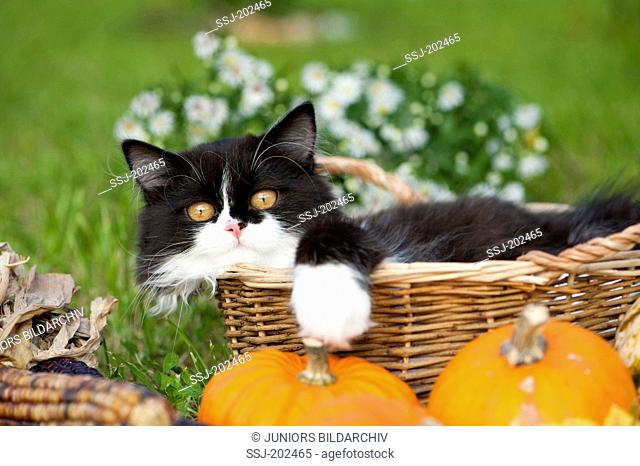 British Longhair. Black-and-white kitten in a basket behind pumpkins and corn cobs. Germany