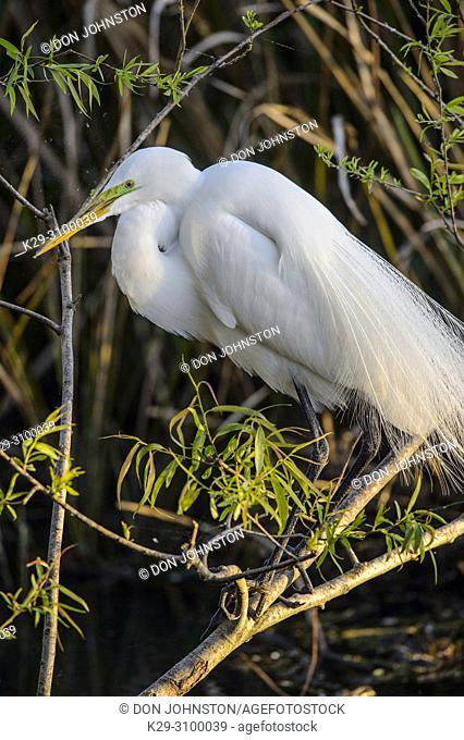 Great egret () Breeding behaviour in early spring, late winter, Smith Oaks Audubon Rookery, High Island, Texas, USA