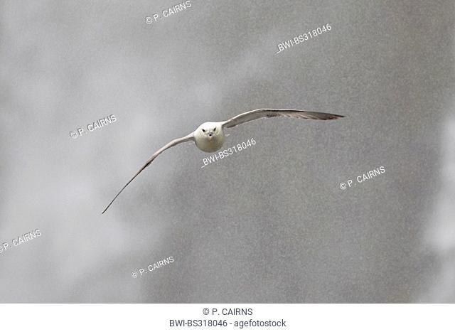 northern fulmar (Fulmarus glacialis), in flight infront of Skogafoss waterfall, Iceland