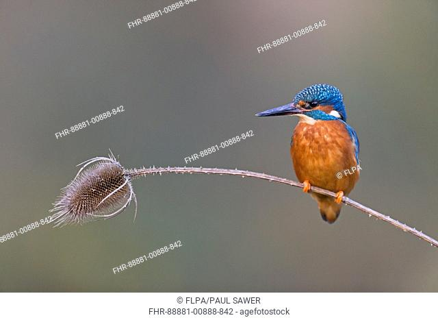 Common Kingfisher (Alcedo atthis) adult male, perched on teasel seadhead stem, Suffolk, England, UK, January