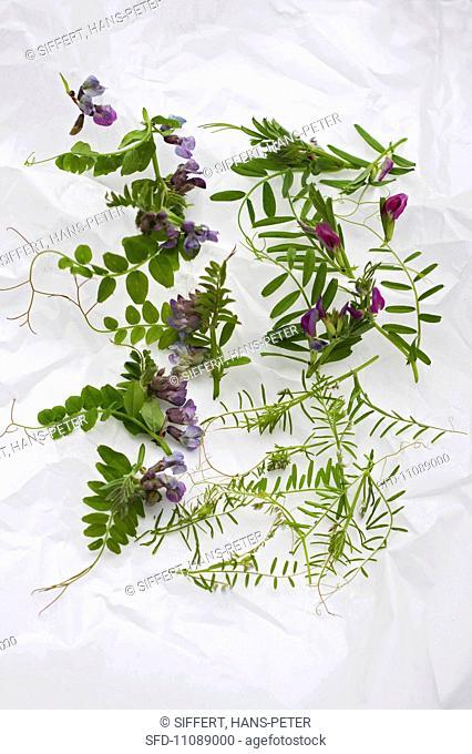 Various vetches sprouts: bush vetch, common vetch, hairy vetch