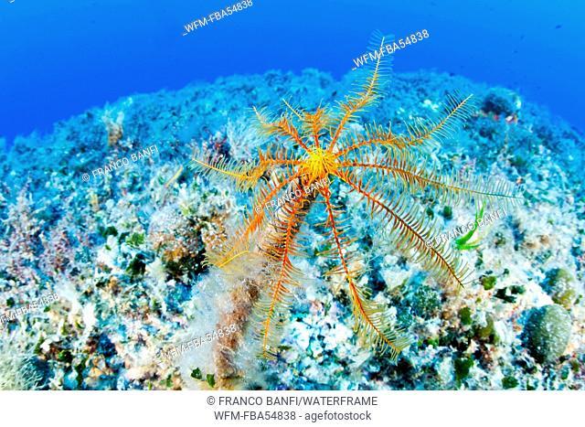 Mediterranean Crinoid, Antedon mediterranea, Ponza Ilsland, Mediterranean Sea, Italy
