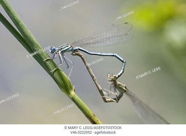 White-legged Damselflies mating, Platycnemis pennipes, Blue Featherleg, a distinct damselfly with white legs. Length is 32mm